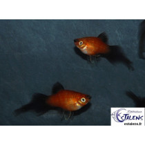 Platy Corail Star Wagtail Rouge  2.5-3