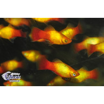 Platy Sunset Glowlight 3.5-4