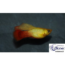 Platy Variatus Gold Voile 3-3.5