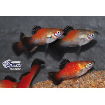 Platy Wagtail Dos Rouge 4-5