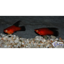 Platy Voile Wagtail Rouge  3-3.5