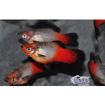 Platy Wagtail Rge/Blc  3.5-4