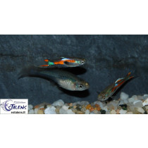 Guppy Endleri Mâle Assort. 2-2.5
