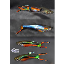 Guppy Endleri Mix Color (mâle) 2-2.5