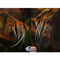 Pterophyllum Manacapuru Red Back 3-4