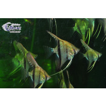 Pterophyllum sp. scalare Puxurituba 3-4 F2 (Estale