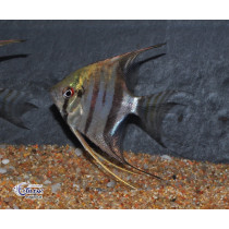 Pterophyllum Surinam Spotted 5-7 Svg SUPER