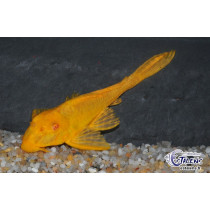 Pterygoplichthys gibbiceps Orange 15-17