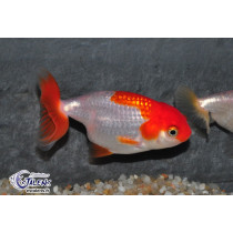 Ranchu Rouge/Blanc  6-7