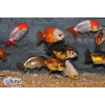 Ranchu Assortis  5-6