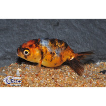 Ranchu Calico  5-6