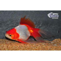 Ryukin Rouge/Blanc 15-17 Grade A Voile
