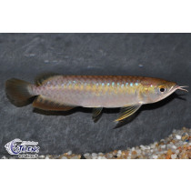 Scleropages formosus Red Tail Golden pucé 30-35