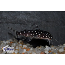 Synodontis angelicus  5-7 (elvg) SUPER