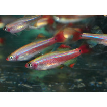 Tanichthys albonubes Fire Red Voile 2-2.5