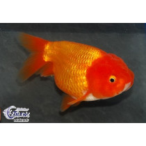 Ranchu Rouge  6-7