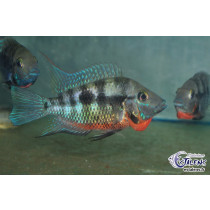 Thorichthys meeki Black Angeles  7-9 (Estalens)