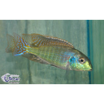 Tramitichromis sp. Red Flush Lundo  4-5 F1 (Estale
