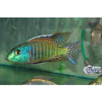 Tramitichromis sp. Red Flush Lundo  5-7 F1 (Estale