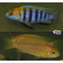 Tropheops sp. macrophthalmus Chitimba Blue 7-9