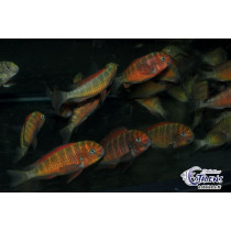 Tropheus sp. Red Kazumba Golden  5-7