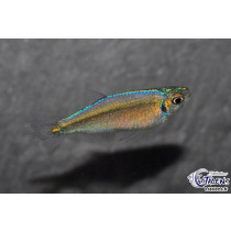 Tyttocharax sp. Blue Rio Momon 1.5-2