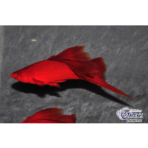 Xipho Full Red Voile  5-6