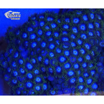 Zoanthus Blue Star Frag (10-15 polypes)