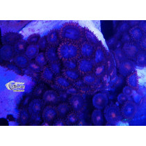 Zoanthus Fire Blue Frag 10-15 polypes