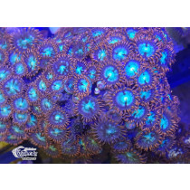 Zoanthus Fire Green Frag