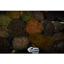Zoanthus Assortis FULL COLOR L Indo-Pacif