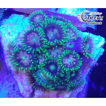 Zoanthus Purple Green Frag (10-15 polypes)