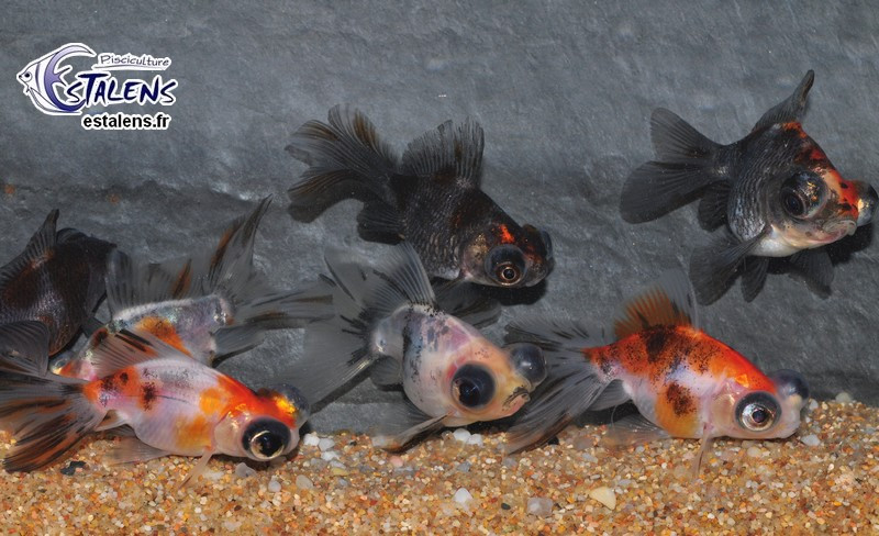 Butterfly Calico  5-6