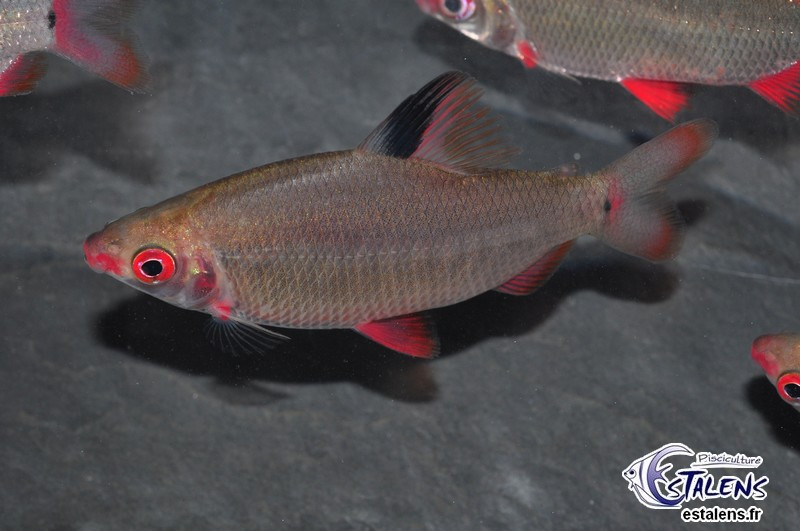 Distichodus sp. Red/Black Lefini 7-9