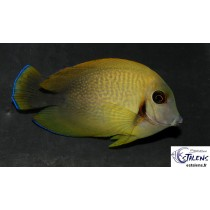 Acanthurus chronixis  7-9