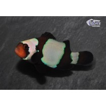 Amphiprion ocellaris Black Snowflake  4-5