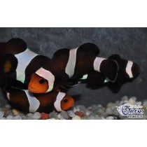 Amphiprion ocellaris Black Darwini  3-4 (el)