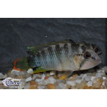 Apistogramma sp. Oregon Rio Tigre 4-5 Svg