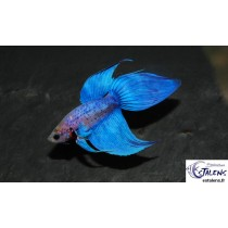 Betta splendens Bicolor  5-6