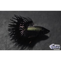 Betta Crown Tail Black Copper  5-6