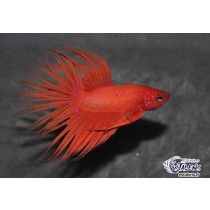 Betta Crown Tail Orange  5-6