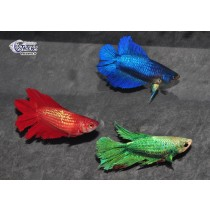Betta Femelle HM DbleTail Select. 4-5+ XL