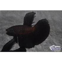 Betta HM Black 5-6