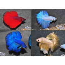 Betta Halfmoon (1/2 Lune) Assortis 5-6