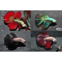 Betta Halfmoon Dragon/Select. Assortis 5-6