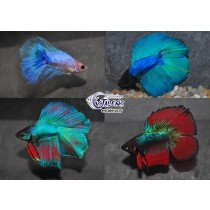 Betta Halfmoon  DbleTail Assortis 5-6