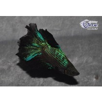 Betta HM DbleTail Black Orchid 4-5