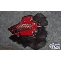Betta Halfmoon DbleTail 4-5 (Selection)