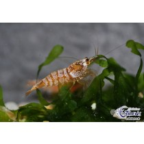 Caridina Golden Snow White  1-1.5+