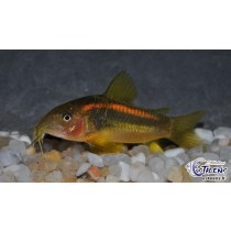 Corydoras Orange Perou (CW010) 4-5 SUPERBE